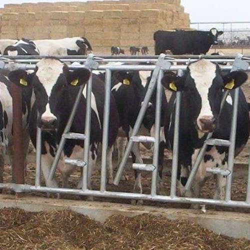 2 cows 500x500